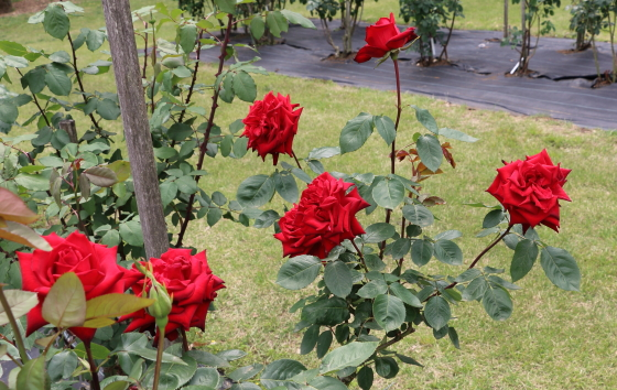 ヘレンシェーンは赤色バラ
