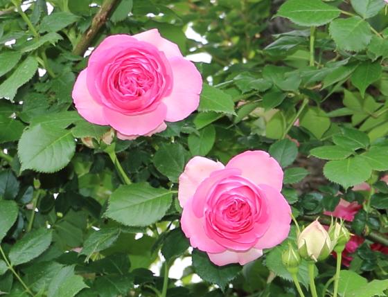 ロゼット咲きです