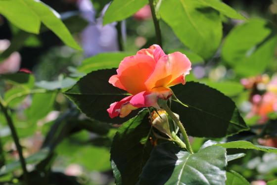 珊瑚色のバラです