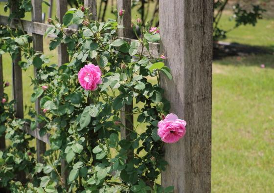 モス系統のバラ