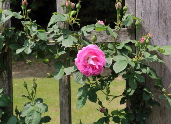 中輪咲きのバラ