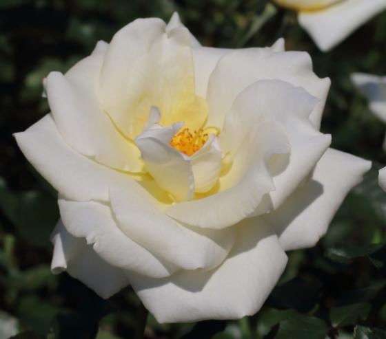 レーシーレディは白色のバラ