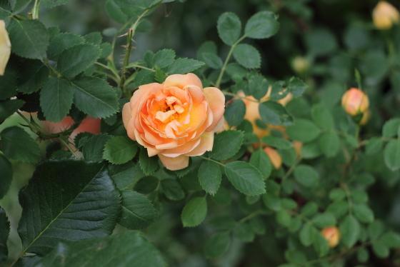 オレンジ色のバラです
