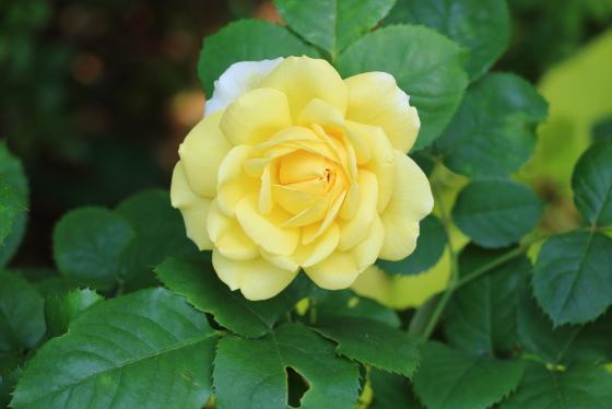 シンフォニーは黄色バラ