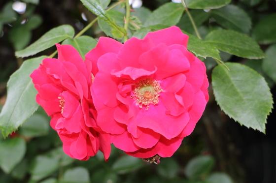 赤色のつるバラ