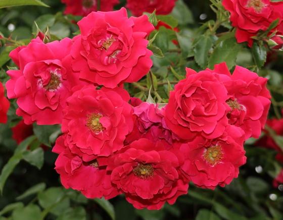 つるバラの中輪咲き