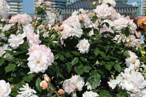 浮雲は淡いピンク色のバラ