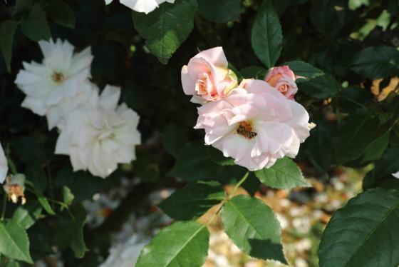 浮雲は日本で作出されたバラ