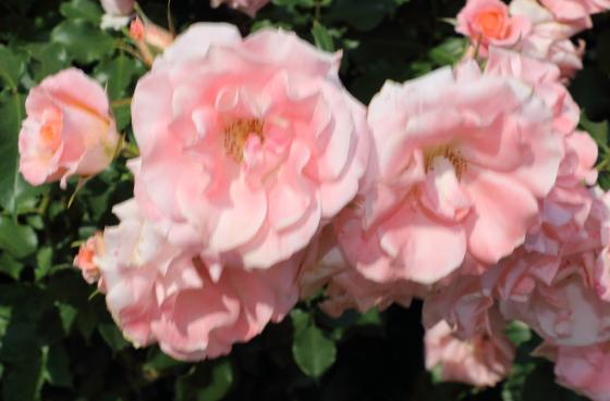 わらべ歌は京成バラ園芸の作出