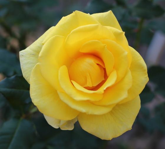 イエローシンプリシティは黄色バラ