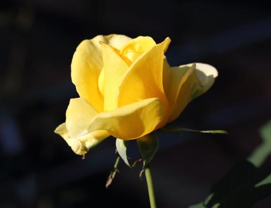 イエローシンプリシティは四季咲きです