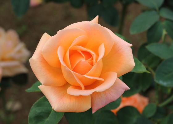 夢はオレンジ色のバラ
