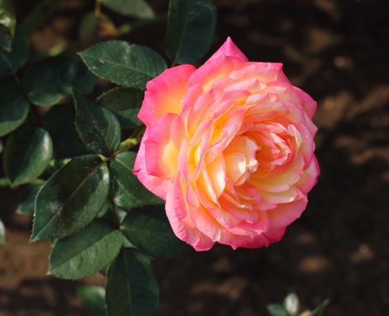 朝雲はオレンジ色のバラ