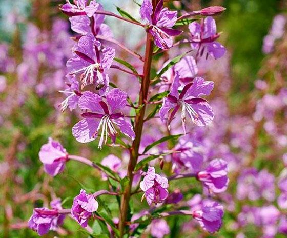 紅紫色の花