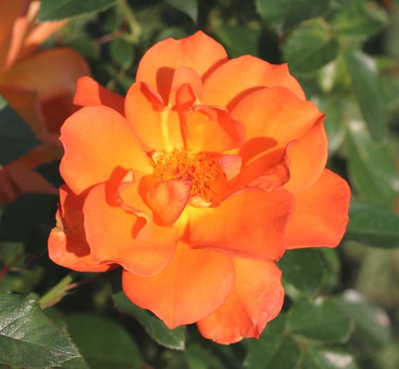 ハレはオレンジ色のバラ