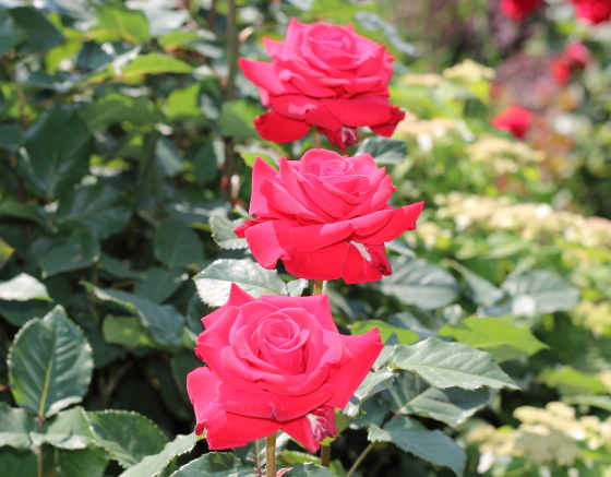 赤色のバラです