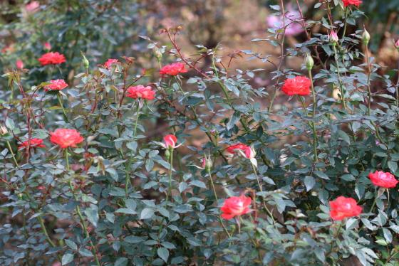イギリスで作出されたバラ