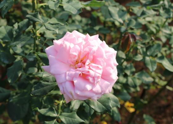 ピンクフレンチレースは四季咲き性