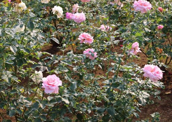 ピンク色のバラです