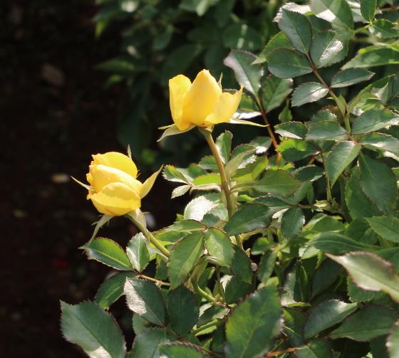 丸弁平咲きのバラ