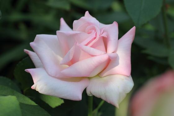 清粧は四季咲き性です