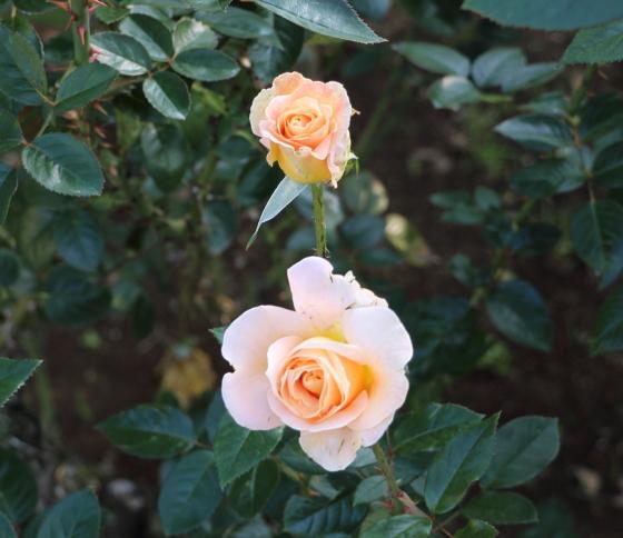 シルバは四季咲き性です