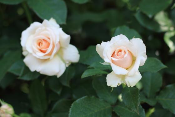 淡いピンク色のバラ
