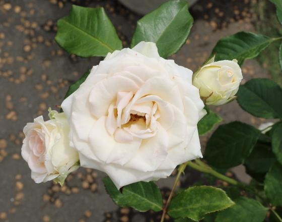 ブライダルファンタジーは白色のバラ