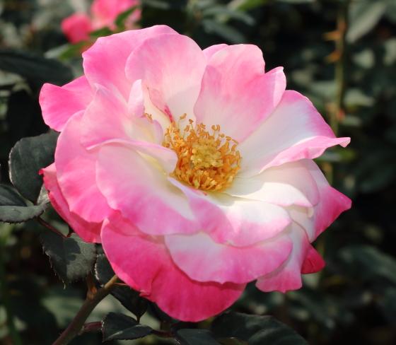 白地にローズピンク色の覆輪