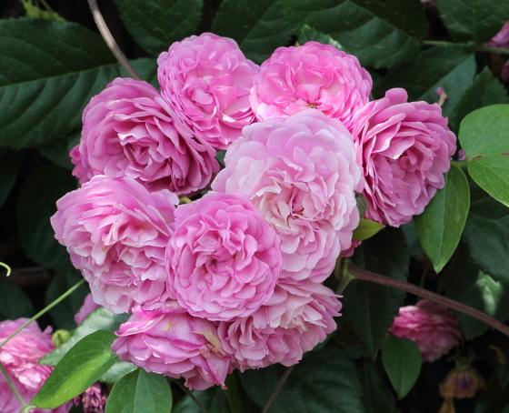 ラベンダー色のバラです