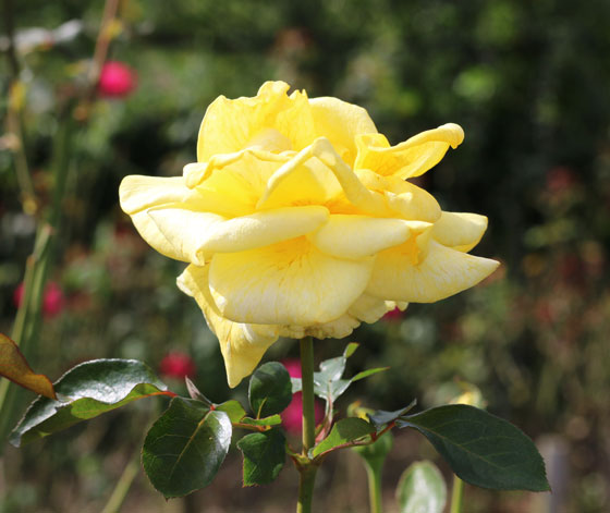 黄色いバラです