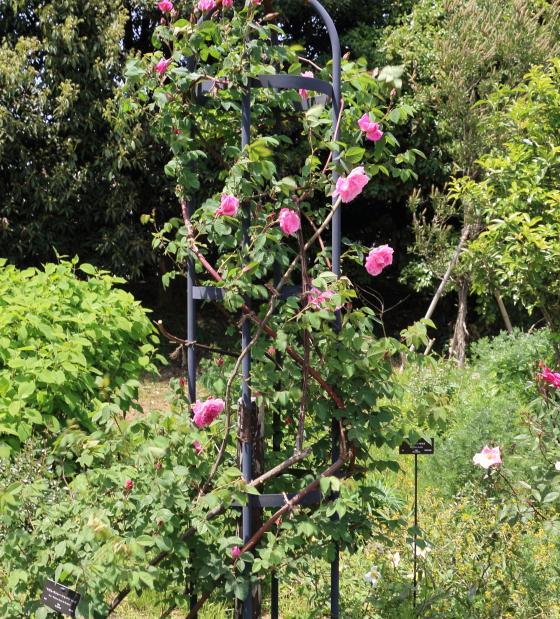 枝は4m以上に伸長します