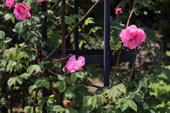 花径は中大輪種です