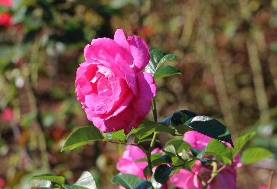 マヌウメイアンは四季咲き性
