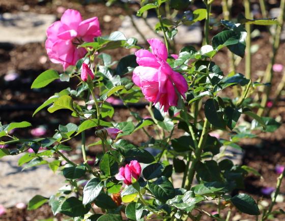 ローズピンク色のバラ