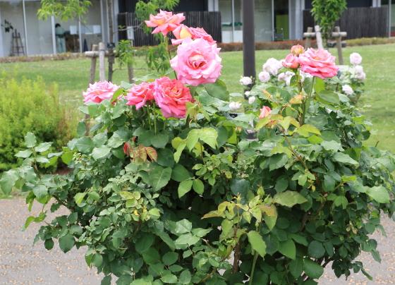 大輪咲き品種です