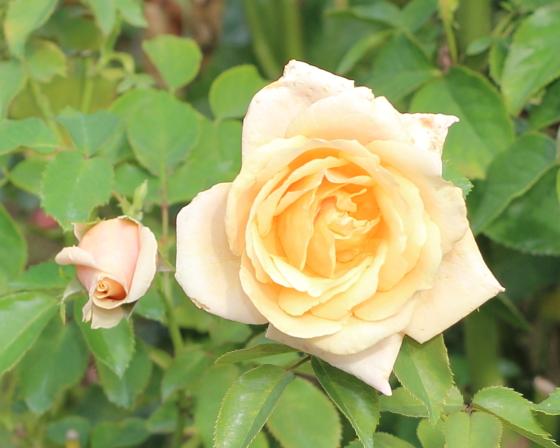 ポールリカードは四季咲き