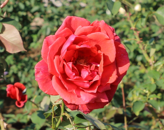 シモンボリバーは四季咲き性です