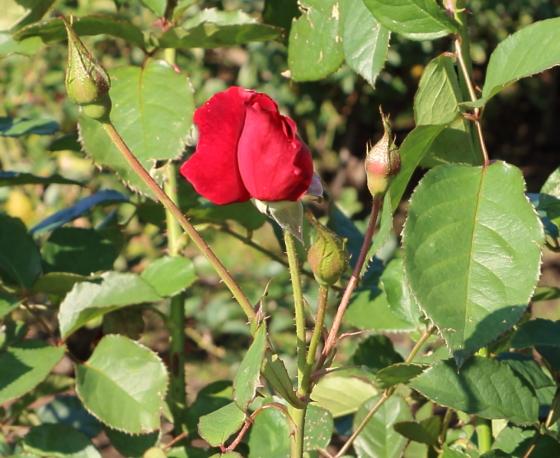 タランガは赤色のバラ
