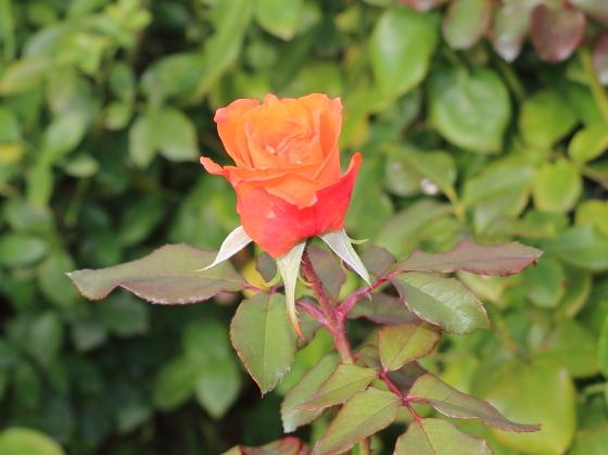 テキーラは四季咲き性