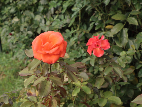 テキーラはオレンジ色のバラ