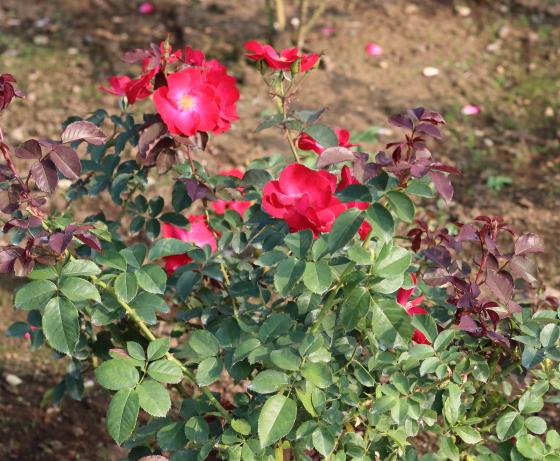 1955年作出の赤色バラ