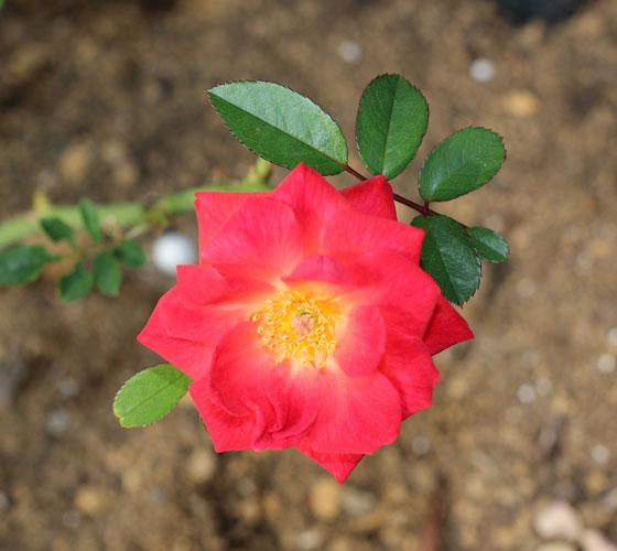 ミニチュア系統のバラ