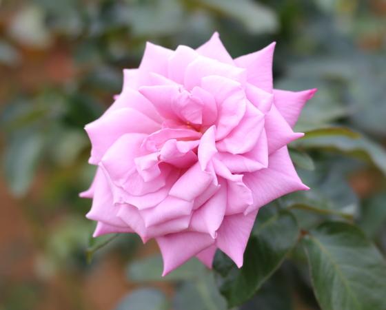 藤色のバラ