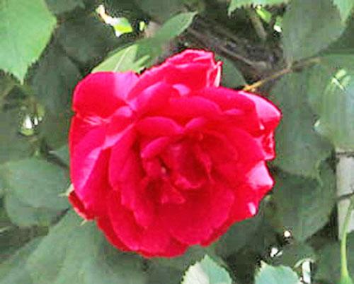 ブレーズは赤色バラ