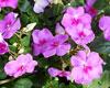 インパチェンスは夏の花