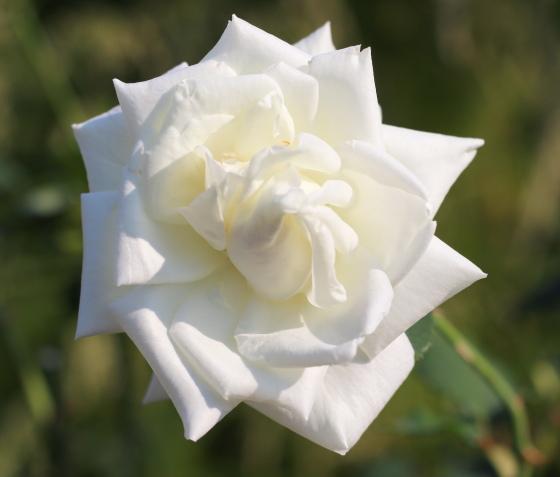 白色のバラです
