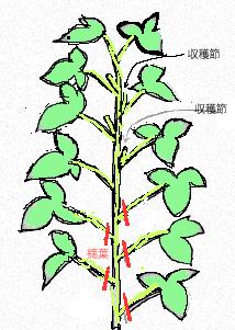 摘葉のイラスト