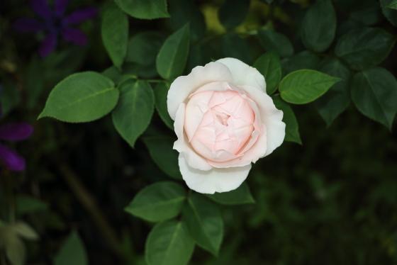 ザプライオレスはピンク色のバラ