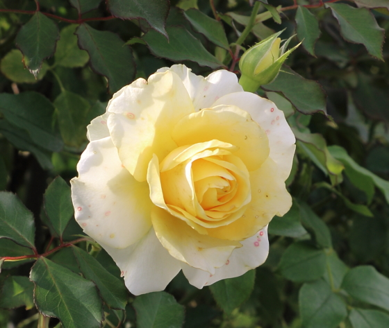 和音はクリーム色のバラ